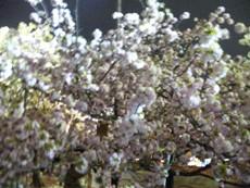 造幣局の通り桜
